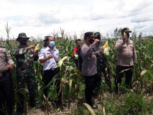 KapolsekAimas bersama Danramil Panen Perdana Jagung Manis di Lahan kelurahan Berdikari Maklalut Distrik Mariat
